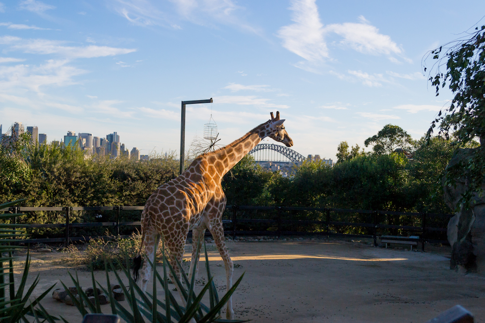 A giraffe strolls beside Sydney harbour