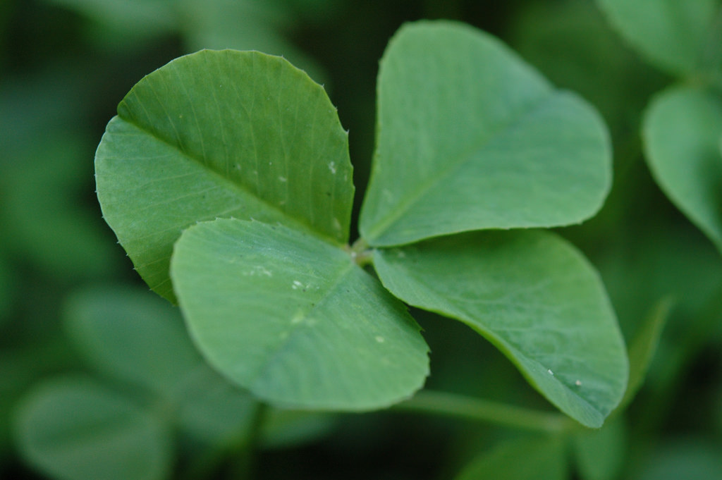 A four-leaf clover has long been thought to bring good luck to the finder