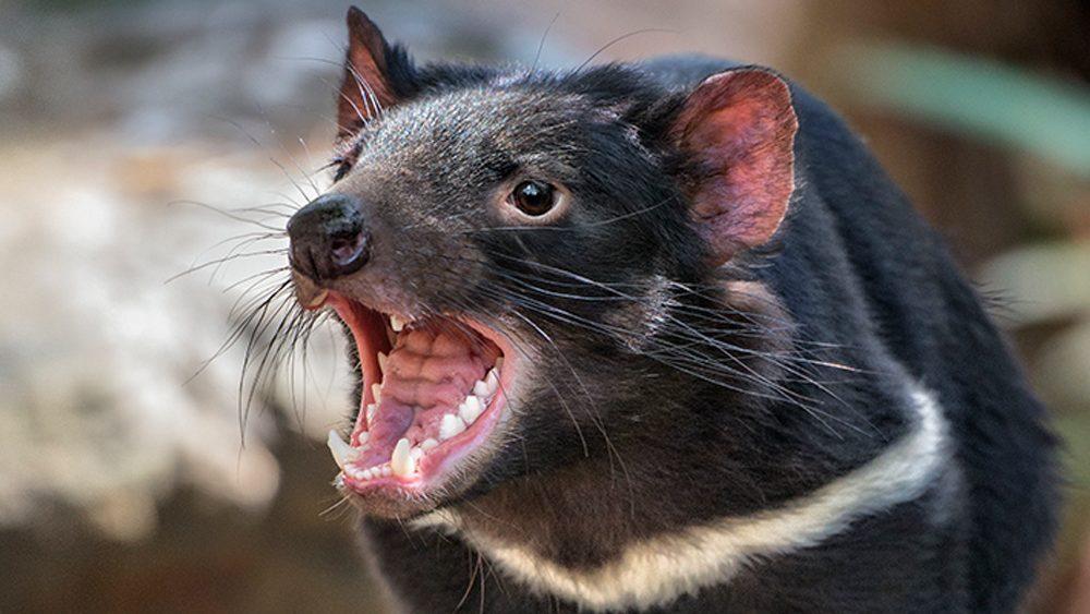 The (Tasmanian) devil incarnate