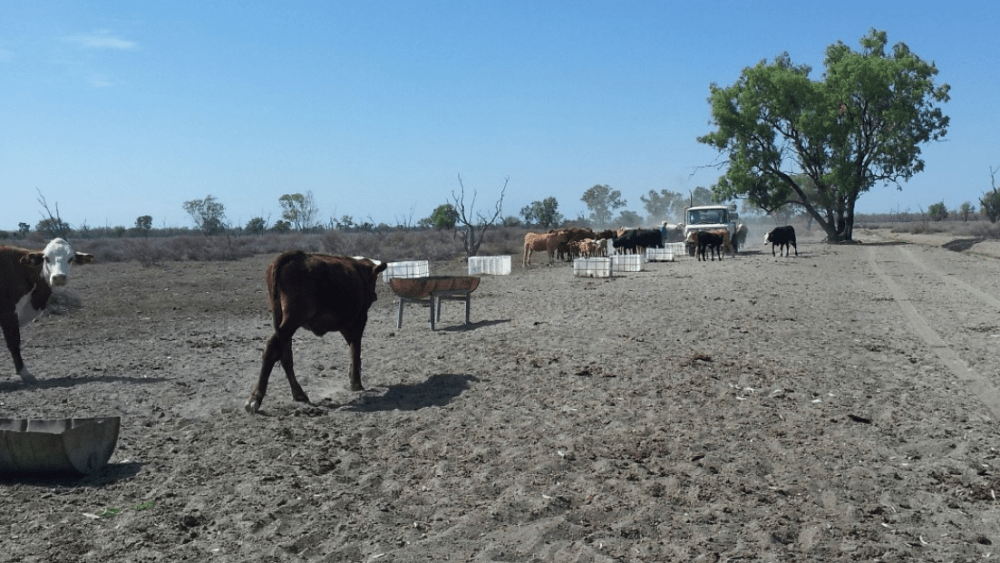 Farmers feeding their stock in dusty conditions near Lightning Ridge, NSW