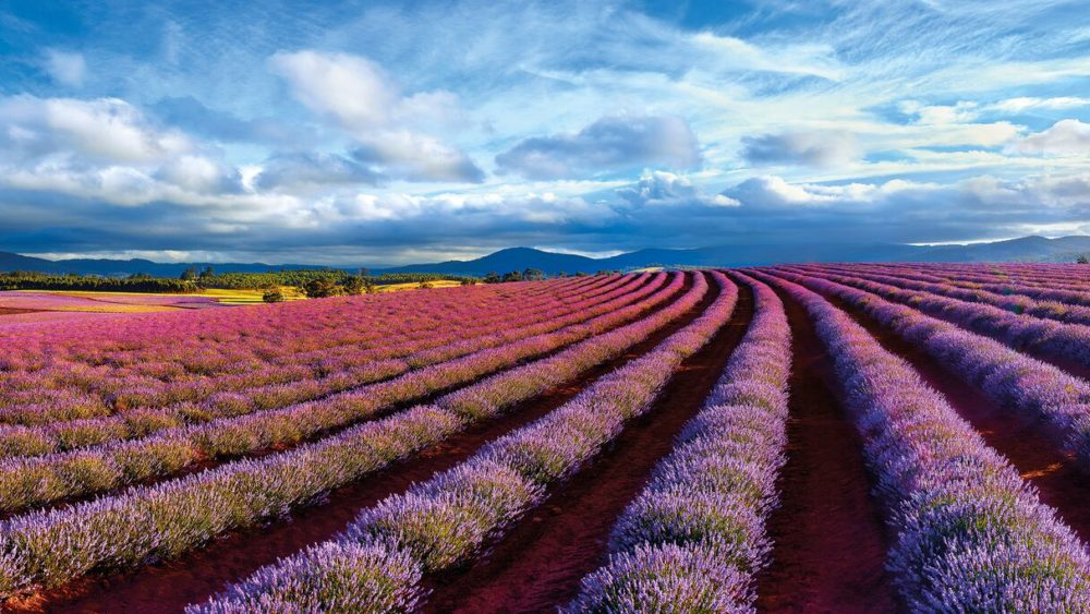 This Ken Duncan photograph of lavender is Called Field of Dreams.