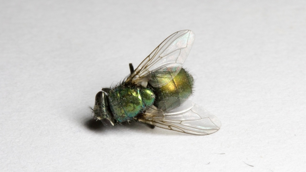 Dead fly. Image: Rob Slaven / Pixabay